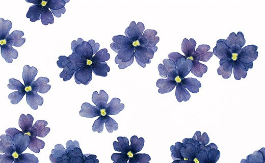 Getrocknete Essblüten der blauen Verbene - Neworks
