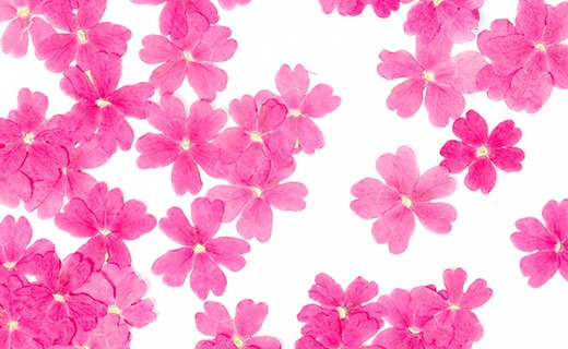 Getrocknete Essblüten der rosa Verbene - Neworks